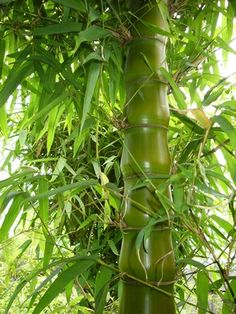 Bambusa vulgaris 'Wamin'.  This bamboo is a dwarf clumper, ideal for small landscapes in tropical or subtropical climates.