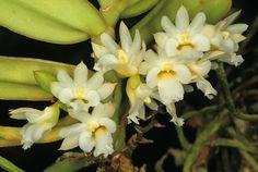 Orchid: Calyptrochilum christyanum
