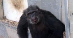 Scimmie da vivisezione liberate vedono per la prima volta il cielo – Video