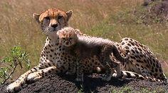_60330484_p00f473j_cheetah.jpg 304×171 pixels