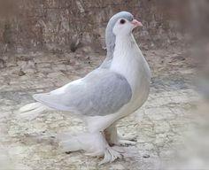 Lahore Pigeon, Pigeon Breeds, Beautiful Birds, Pet Birds, Pakistan, Animals, Birds, Animales, Animaux
