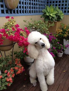 Love Ringo :) So cute that poodles are so smart that they get that inquisitive head tilt because they so want to understand everything!