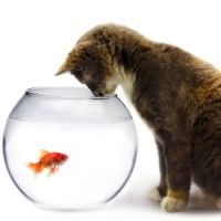 Fish Bowl Stock Photos Images, Royalty Free Fish Bowl Images And . Seek First To Understand, Bowl Image, Fish Stock, Goldfish, Royalty Free Images, Stock Photos, Cats, Photography, Curiosity