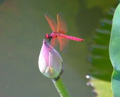 Dragonfly perched on a pink lotus bud