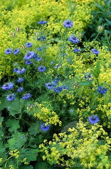 SuperStock - nigella damascena (love-in-a-mist) & alchemilla mollis (lady's mantle). bed with combination planting of blue & yellow/green flowers
