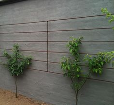 """What to do when you are faced with a blank wall,  but you want fruit trees?  Why - just use the ancient technique of espalier!  The word """"espalier"""" is French, but originates from  the Italian word """"spalliera"""" meaning  """"something to rest the shoulder (spalla) agains"""