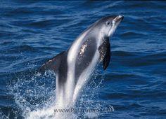 Delfín de Hocico Blanco White beaked dolphin (Lagenorhynchus albirostris)