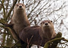 North American otters