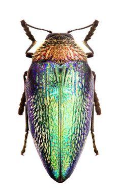 Sternocera pulchra