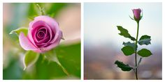 Facebook Instagram, Roses, Feelings, Nature, Flowers, Plants, Photography, Free, Naturaleza