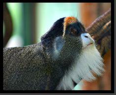 De Brazza's Monkey