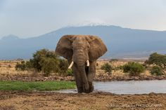 Perfect day for an iconic Amboseli shot: Mt Kili behind & a lovely ele by Tortilis Camp's waterhole.  Image by Johan Van Eeden
