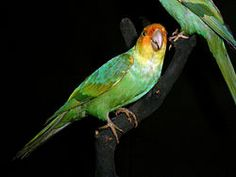 Extinct Bird: The Carolina Parakeet (Conuropsis carolinensis) The only parrot species native to the eastern United States. Description from pinterest.com. I searched for this on bing.com/images