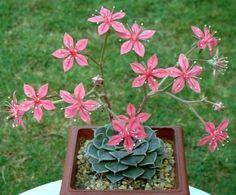 Las sorprendentes flores de las Suculentas | Cuidar de tus plantas es facilisimo.com