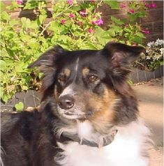 Very pretty - Cimarron English Shepherds English Shepherd, Shepherd Dogs, Australian Shepherd, Horses And Dogs, Dogs And Puppies, Farm Dogs, Collie Mix, Beautiful Dogs, I Love Dogs
