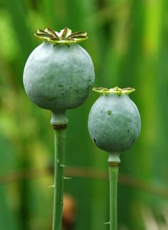 #Poppy #seed #heads in late July in London in a #front #garden