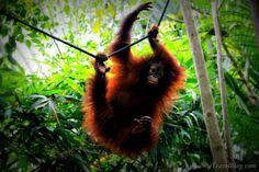 Baby orangutan at the Oragutan Sanctuary in Borneo.