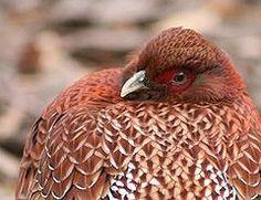 Copper Pheasant - Wikipedia, the free encyclopedia