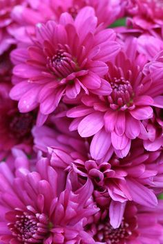 Chrysanthemums (mums) are so pretty and come in beautiful colors. They are perennial flowering plants, which do come back every year.