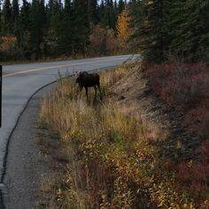 #alaskarailroad #fairbanks #alaska #moose
