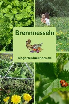 Die Brennnessel – Das heilkräftige Powerkraut #brennnesseln #heilkraft #garten Edible Wild Plants, Kraut, Natural Cures, Food Design, Herb Garden, The Cure, Health Fitness, Herbs, Nature