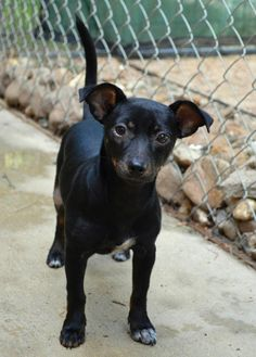 Pricilla Chihuahua • Baby • Female • Small Abandoned Animal Rescue Tomball, TX