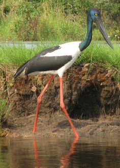 Jabiru (Jabiru mycteria) is a large stork found in the Americas from Mexico to Argentina, except west of the Andes.