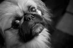 handsome #Pekingese