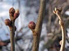 Mustaherukka, Ribes nigrum - Puut ja pensaat - LuontoPortti Flora, Wellness, Training, Bud, Medicinal Plants, Feel Better, Home Remedies, Seeds, Health