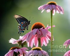 (1st Place win in Butterflies contest)(2nd place contest win in Pretty and Pink)(2nd place contest winner in 'Flowers with Company' contest) (featured art) A photo taken by Nava Jo Thompson of black Swallowtail Butterfly visiting pink Cone flowers in NW Arkansas