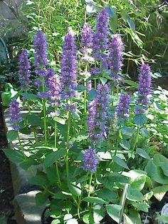 Blue Giant or Anise Hyssop - Agastache foeniculum - Conserve Lake County Native Plant Sale Herb Garden, Garden Plants, Permaculture, Purple Garden, Plant Sale, Edible Flowers, Types Of Plants, Native Plants, Perennials