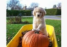 Image result for dogs with pumpkins