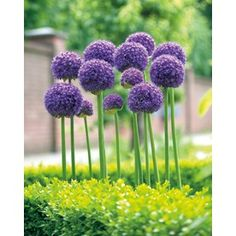 Garden State Bulb 3-Pack Gladiator Alliums $9.98 lowes Dr. Suess truffle flowers