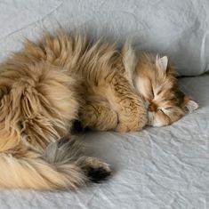 10 Cute photos of Golden Retrievers - The cats Pretty Cats, Beautiful Cats, Animals Beautiful, Animals And Pets, Baby Animals, Cute Animals, Animals Images, Crazy Cat Lady, Crazy Cats