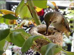 Hummingbird and babies in a nest Hummingbird Nests, Birds And The Bees, Hummer, Hummingbirds, Bird Feathers, Beautiful Birds, Butterflies, Flora, Paradise