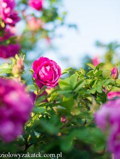 Królewski, organiczny tonik do twarzy - różany. - Klaudyna Hebda
