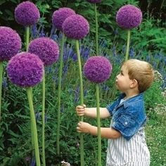 The majestic Gladiator allium is a fall planted flower bulb that blooms from late spring into early summer.Like all alliums, Gladiator is best planted in clump