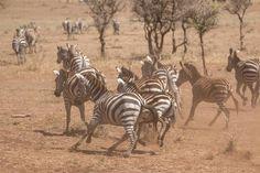 Zebra crossing... Serengeti Migration Camp Image by Richard Miles