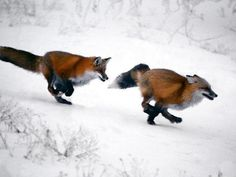 llbwwb:  foxes in the snow, by Bellam.It snowed again today!
