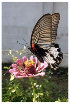 Butterfly 80 by kiew1.deviantart.com on @deviantART