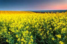 Rapeseed field at dusk | Evgeni Dinev Photography