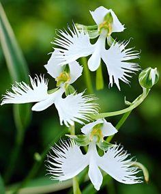 Weiße Vogelblume | Stauden | Bakker