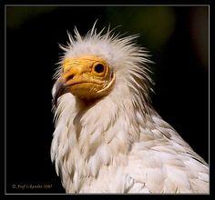 Egyptian Vulture 1 !.. Explored! by Atef A. Iskander, via Flickr