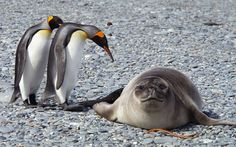 'Hey You! What You took our place on the beach?!' South Georgia Island. Antarctica