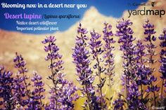 It's peak wildflower season in arid locations in the U.S and we're having a tough time choosing our favorite desert wildflower. How about desert lupine, a gorgeous native that is very beneficial to pollinators?   Check out this desert wildflower report to see what native beauties are in bloom now: http://www.desertusa.com/wildflo/wildupdates.html