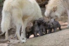 Their enchanting personality is quite visible in wolf pictures. Nevertheless, wolf pictures can not capture the awesome personality of wolves. Arktischer Wolf, Wolf Love, Wolf Howling, Lone Wolf, Beautiful Creatures, Animals Beautiful, Baby Animals, Cute Animals, Arctic Wolf