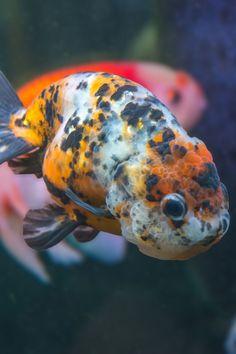 Goldfish Types, Lionhead Goldfish, Goldfish Breeding, Shubunkin Goldfish, Outdoor Ponds, Brine Shrimp, Colorful Fish, Aesthetic Pictures, Animales