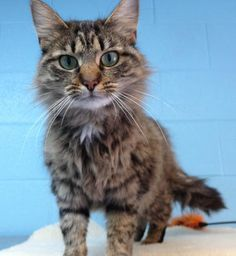 Meet Sophie 22082, a Petfinder adoptable Domestic Long Hair Cat | Prattville, AL | Meet Sophie, Maggie's sister, who is also a lovely 2.5-year old, spayed female. She is very...