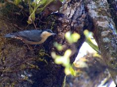 Giant Nuthatch at Doi Lang NP. Thailand