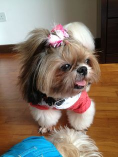 i do that hair do to my dog also lol cutie